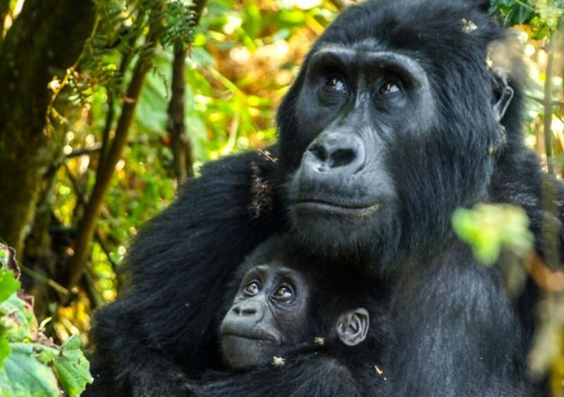 Gorilla Mother