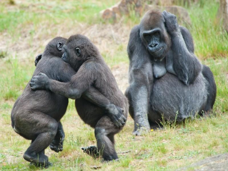 Gorillas Rwanda Park