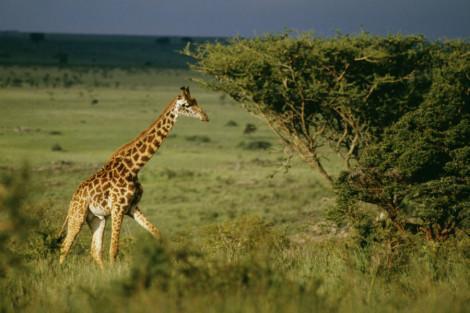 Kenya_NP_giraffe_small2