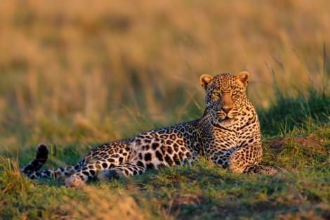 Leopard_Kenya_small