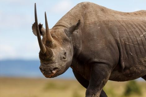 Mara_rhino_Small (2)0