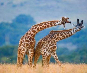 Why_Kenya_Small_Giraffes2