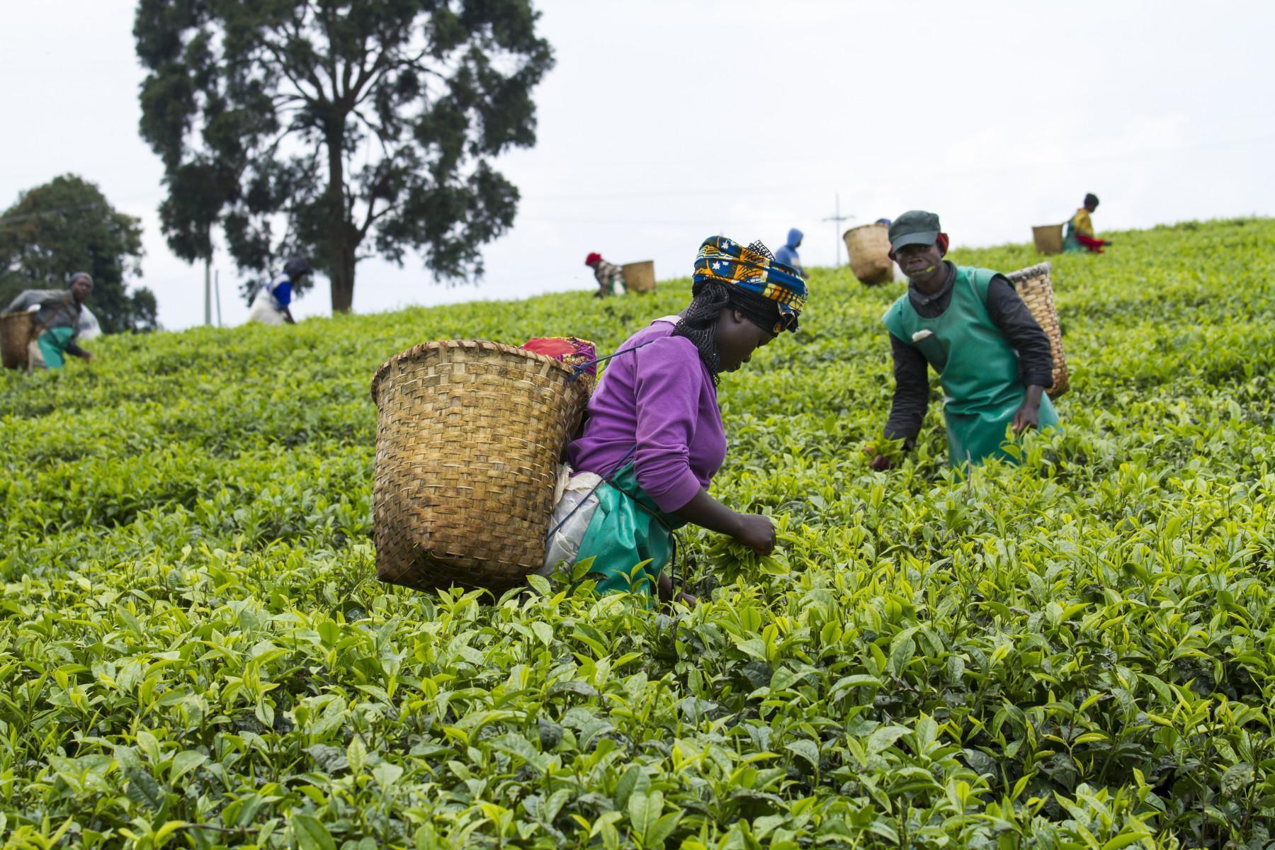 Tea Plantation Nyungwe Rwanda Visit