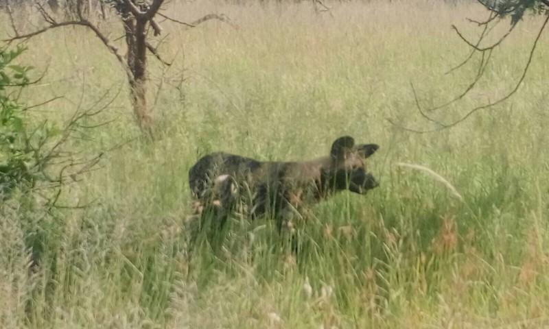 african wild dog serengeti 3