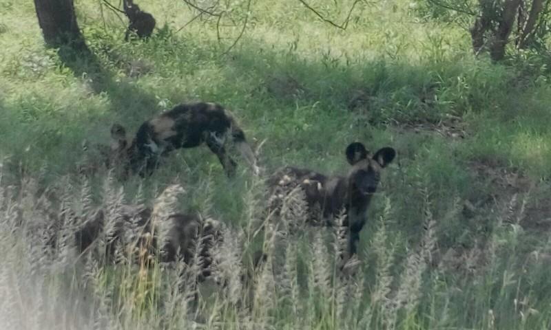 african wild dog serengeti 1