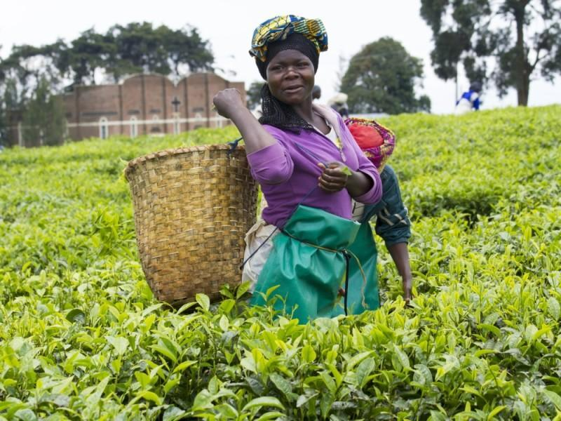 tea plantaion and factory visit rwanda