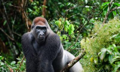 Gorilla Trekking in Rwanda & Uganda: What You Need to Know