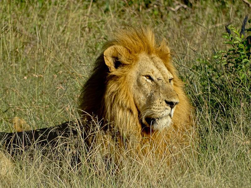 male lion king