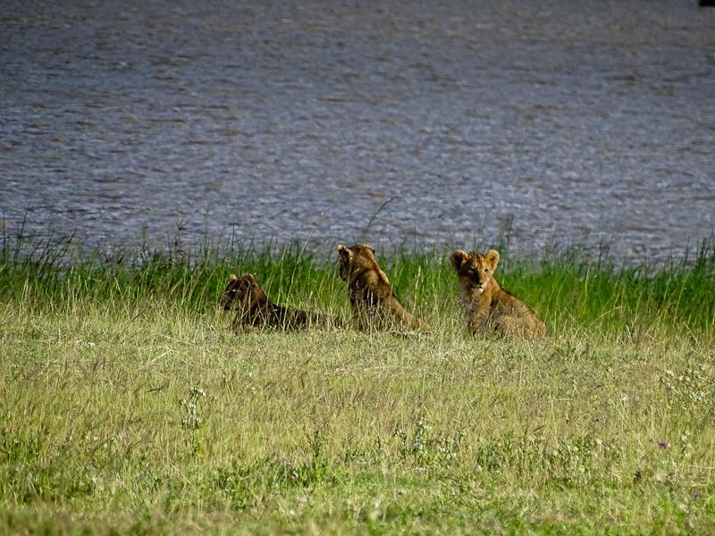 lion cubs by lake