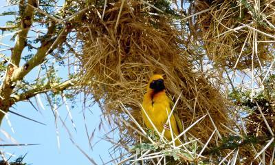 speke's weaver serengeti