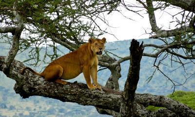 tree climbing lion 2