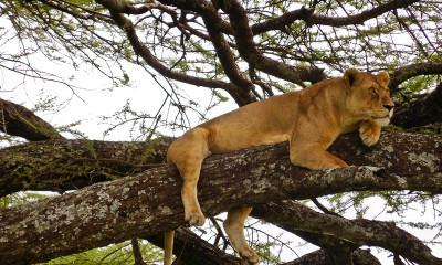lazy lion in tree