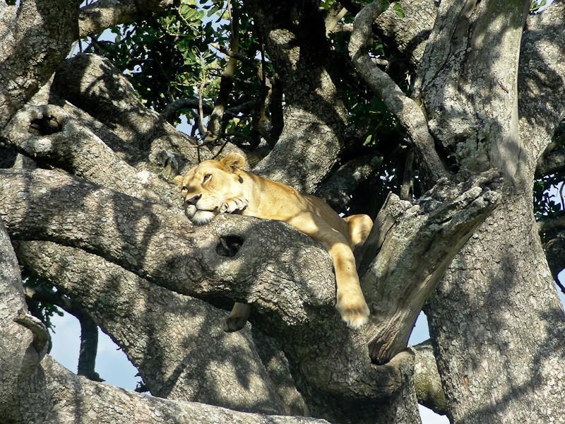 tree climbing lion serengeti