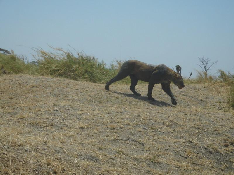 lion mud