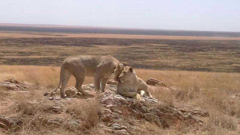Lions Tanzania