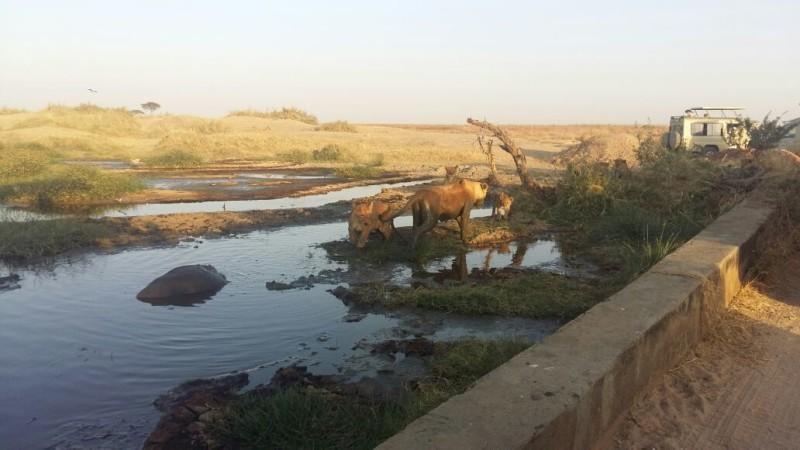 Lion killing wildebeest mud