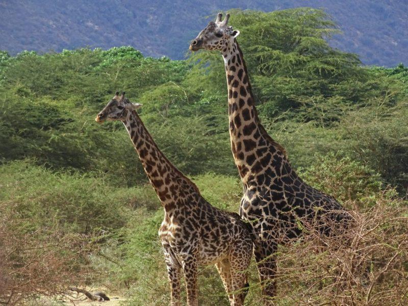 Giraffes Lake Manyara National Park