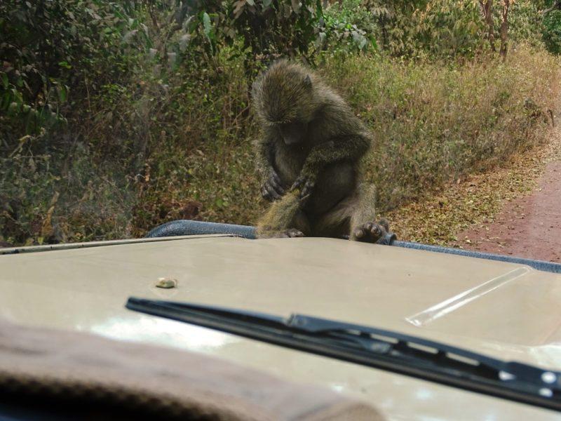 Monkey Ngorongoro Gate
