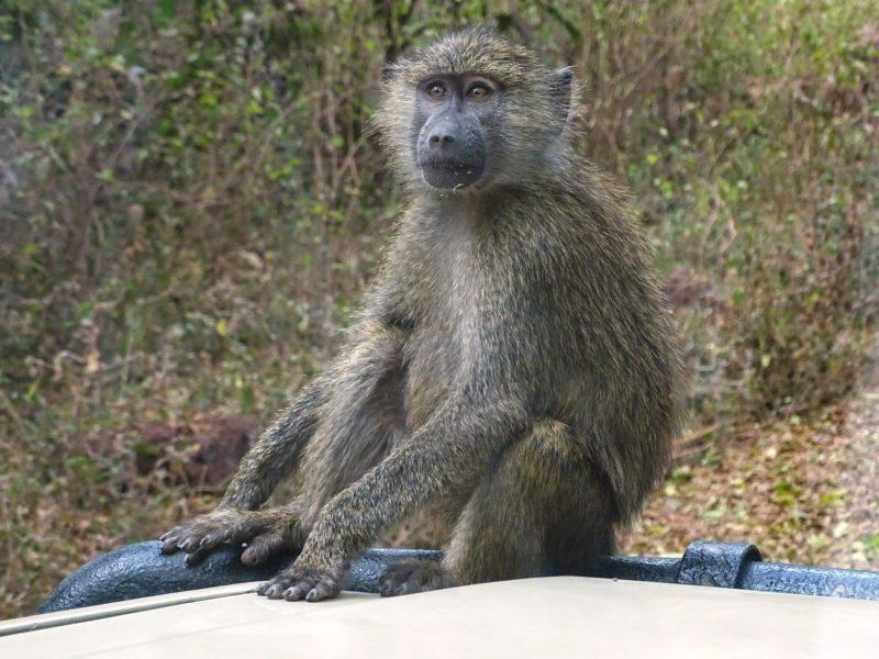 Monkey Ngorongoro Gate
