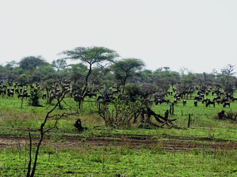 Early Wildebeest Migration October Central Serengeti
