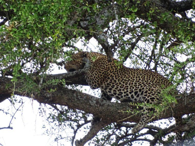 Leopard in tree Central Serengeti