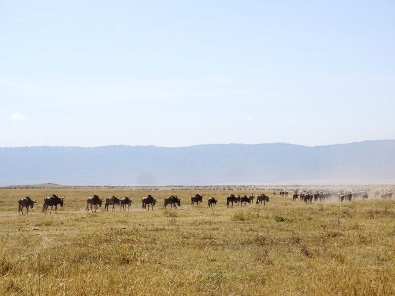 Wildebeest Migraton October Central Serengeti