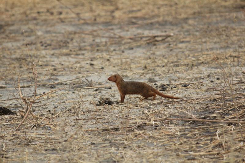 mongoose tarangire