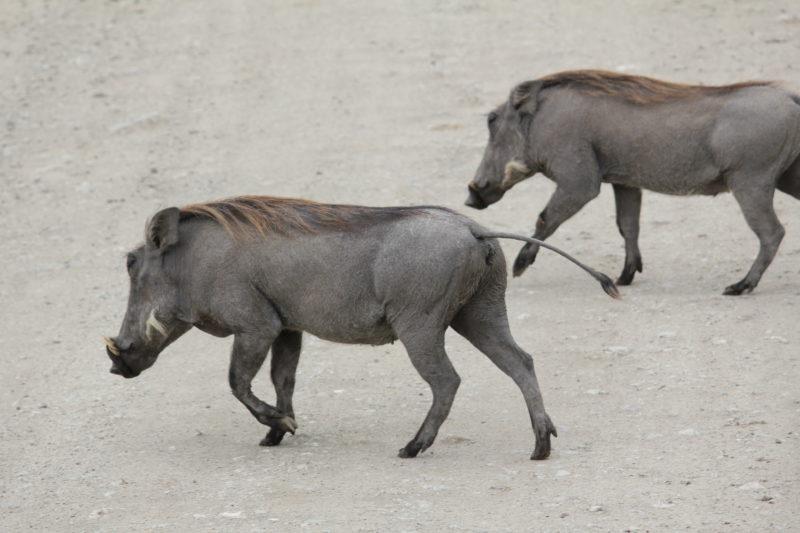 warthog pumba ngiri tarangire
