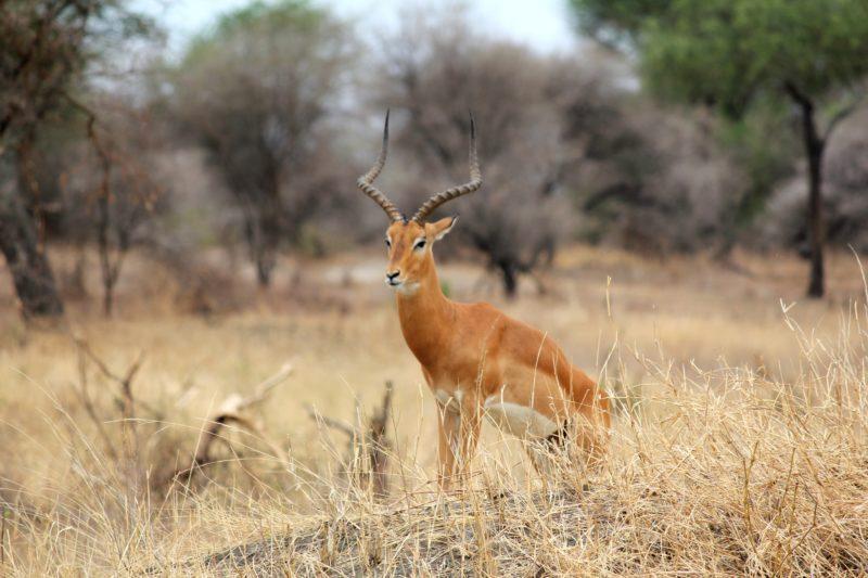 male impala tarangire