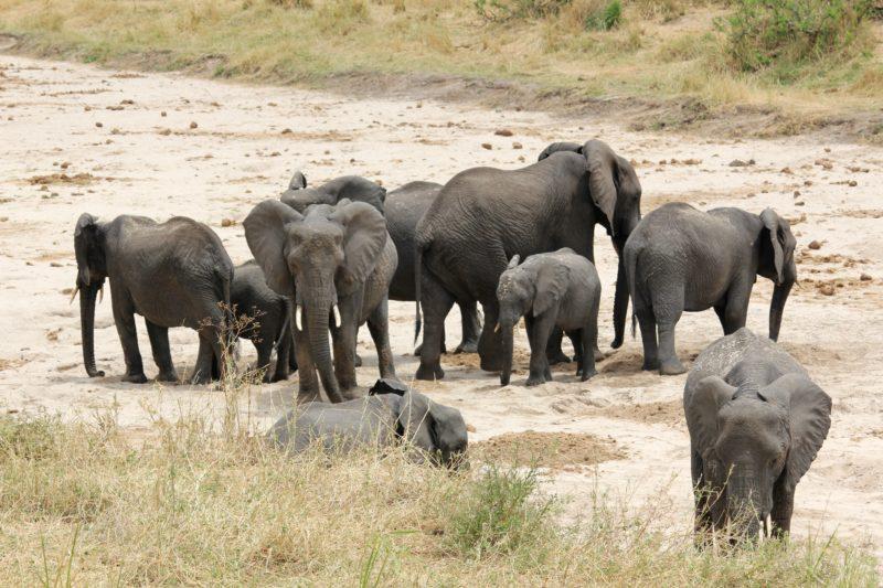 elephants tembo tarangire dry season