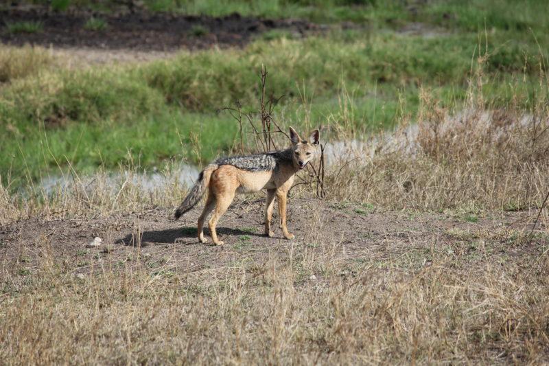 Jackal, Serengeti