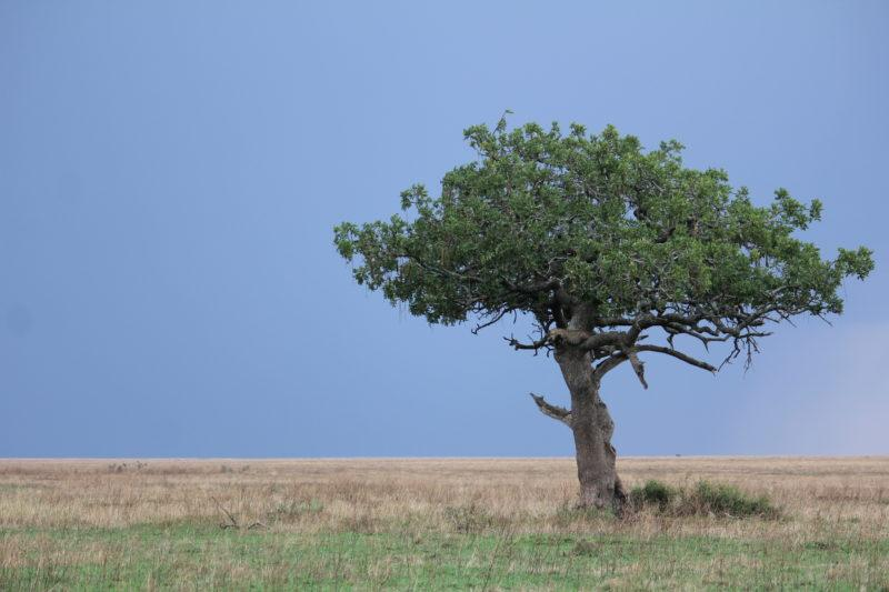Leopard in a tree, Serengeti