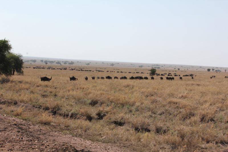 Wildebeest, Serengeti