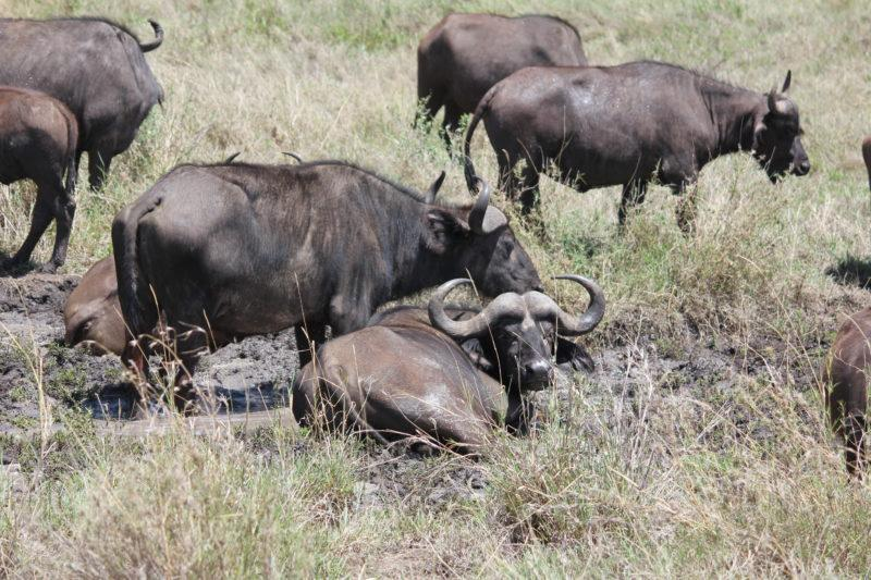 Buffalo, Serengeti