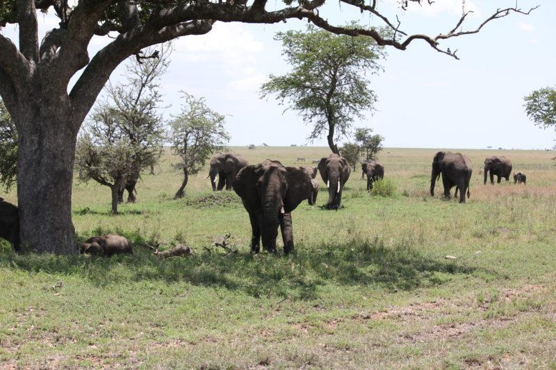 Elephants, Serengeti