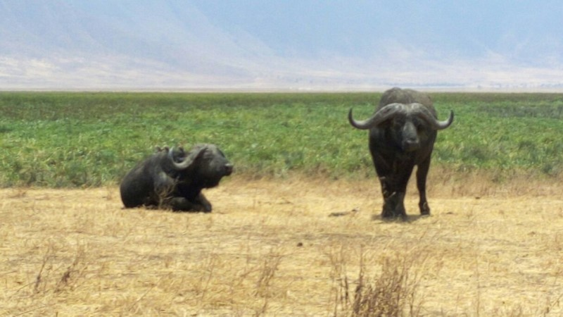 Buffalo Ngorongoro