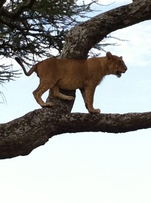 Tree Climbing Lion Manyara