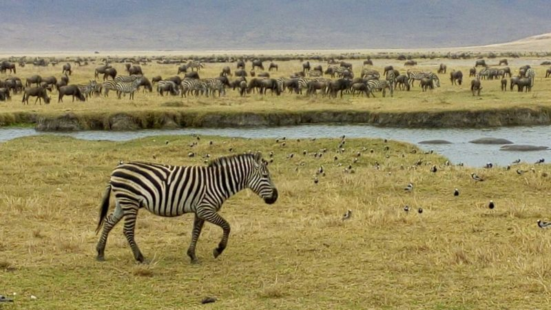 Zebra in front of a hippo pool in Ngorongoro Crater