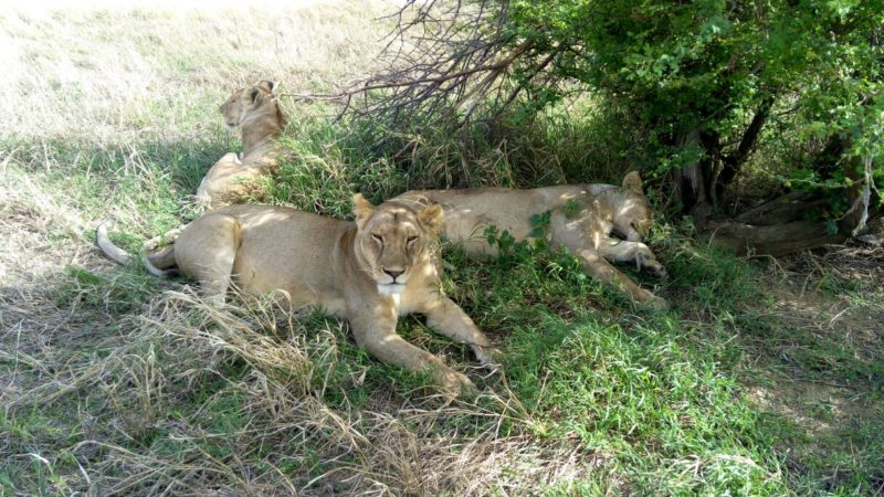 Lions in the Serengeti, the lion in the front had a tracking collar