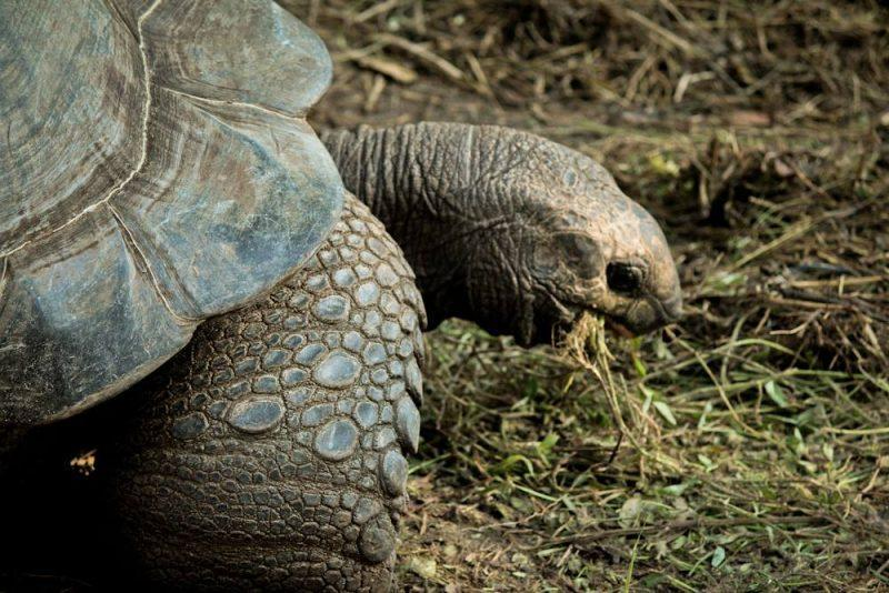 Prison Island, tortoise