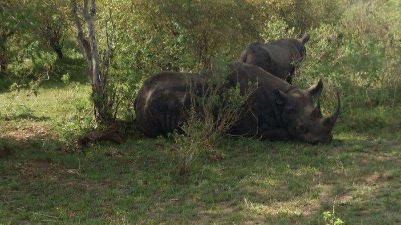 Rhino, Ngorongoro