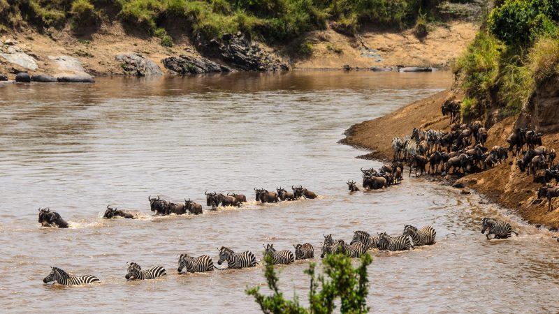 миграция танзания сафари