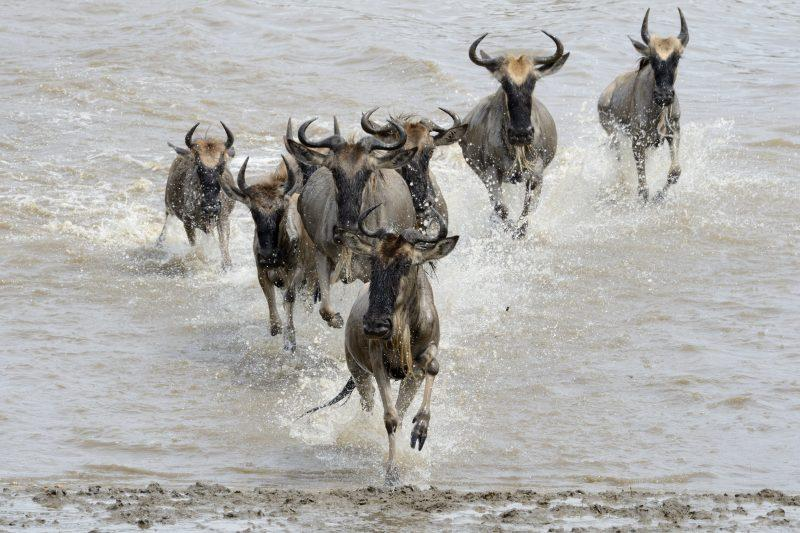 миграция сафари гну