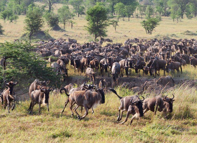 миграция сафари танзания африка