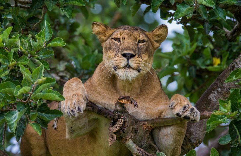 Lioness lying on a tree. Uganda.