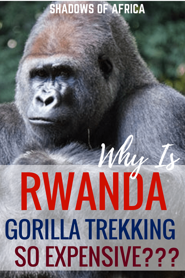 Is gorilla trekking in Rwanda too expensive? Why not try gorilla trekking in Uganda instead? #gorilla #wildlife #trek #safari #rwanda #uganda #travel #africa