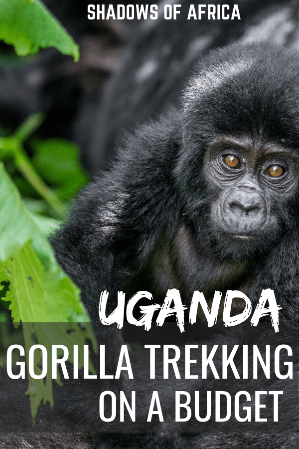 Do you want to go gorilla trekking in Africa on a budget? Why not gorilla trek in Uganda! If trekking with gorillas in Rwanda is too expensive, Uganda is the perfect budget option for you! #trekking #gorilla #gorillatrekking #uganda #rwanda #africa #travel