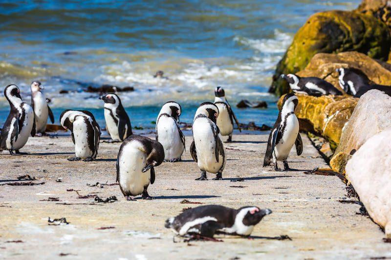 penguins cape town boulders beach