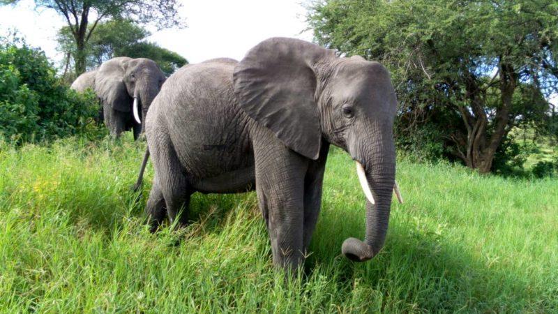 elephant africa big five