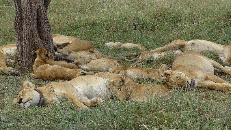 lions prides serengeti